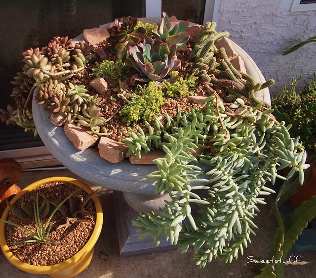 Succulent birdbath just planted