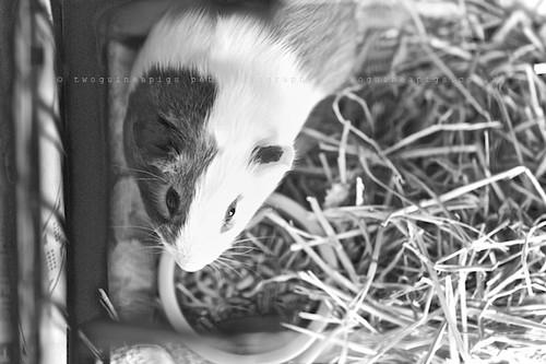 Habitat,guinea pig Gertrude's portrait by twoguineapigs pet photography