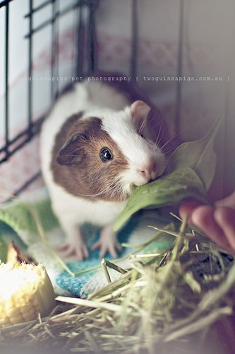 Gertrude, guinea pig Gertrude's portrait by twoguineapigs pet photography