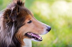 8/12: Early Evening Light (Kerfuffle~) Tags: dog sheltie fergus 812 shetlandsheepdog 12monthsfordogs twelvemonthsfordogs