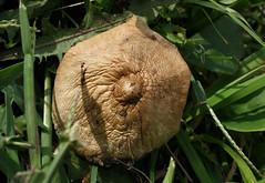 Fawn Mushroom top