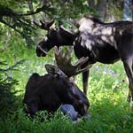 Two Bull Moose thumbnail
