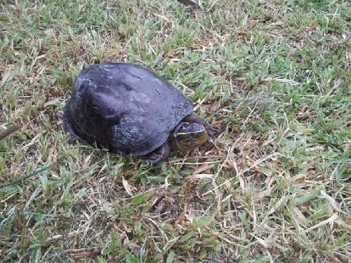 Kura-kura tepi rumah by Hasrol Nizam
