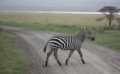 Zebra Crossing (Sum_of_Marc) Tags: africa road park wild lake animal animals nationalpark crossing kenya safari national valley zebra kenia nakuru afrique eastafrica rift lakenakuru ケニア 肯尼亚 republicofkenya 肯尼亞