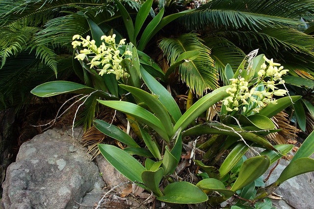 Sydney Rock Orchid