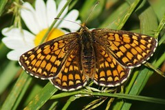 "Heath Fritillary ""mellicta athalia"" (Paul (Barniegoog)) Tags: summer nature butterfly ngc heath fritillary lepidoptery heathfritillary"