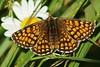 "Heath Fritillary ""mellicta athalia"" (Paul (Barniegoog)) Tags: summer nature butterfly ngc heath fritillary lepidoptery heathfritillary"