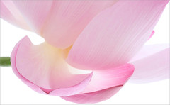 Lotus Flower petal / petals - IMG_6075-1000 (Bahman Farzad) Tags: pink flower macro yoga petals peace waterlily lotus relaxing peaceful petal meditation therapy lotusflower lotuspetal lotuspetals lotusflowerpetals lotusflowerpetal