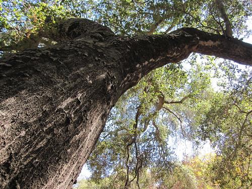 oaks and lizard 010