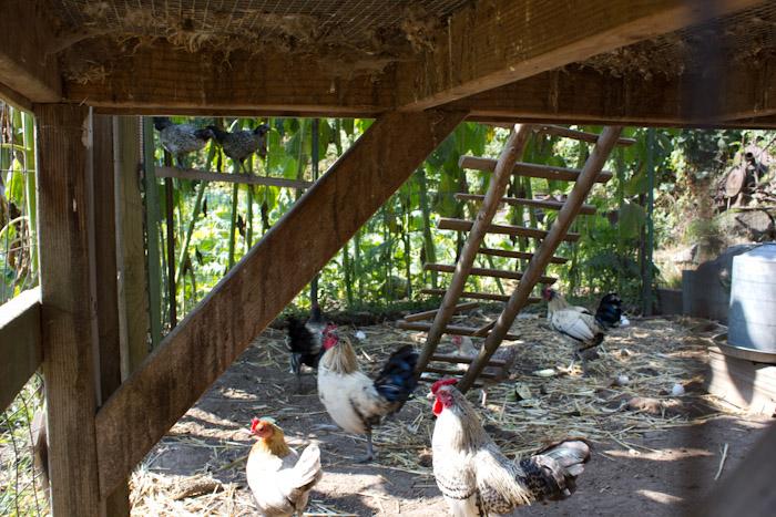 -Chickens.