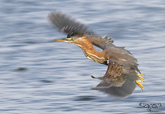 Green Heron [Explored best position #121] (bmse) Tags: green heron canon fly flying wings chica flight 7d pan bolsa panning wingspan span 56 salah 400mm virescens bmse baazizi butoridesvirescensbutorides