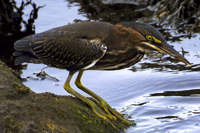 green heron minnow