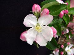 V.1 Blossom