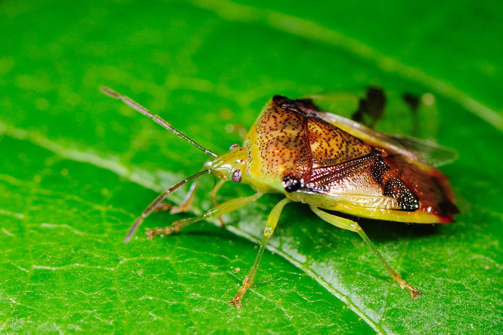 直同椿 Elasmostethus nubilus