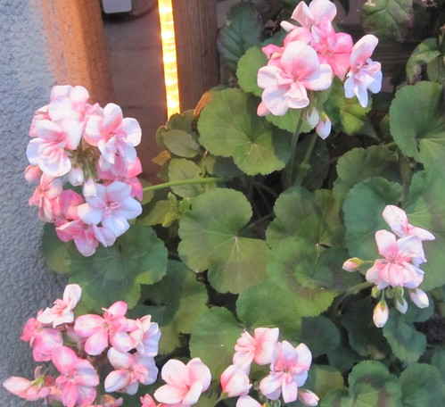 Pink geraniums in Berlin by Anna Amnell