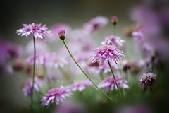 Tears of joy (Jacky Parker Photography) Tags: pink flowers wet rain horizontal closeup landscape flora raindrops blooms orientation ntaure