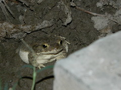 Found a little sleepy toad in my lawn (yusbutt) Tags: animals nightshot toad nikoncoolpixl120