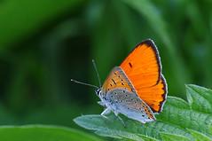 Suur-kuldtiib.  Lycaena dispar. (Jaan Keinaste) Tags: butterfly estonia pentax eesti k7 lycaenadispar liblikas pentaxk7 suurkuldtiib thelargecopper