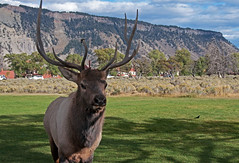 How Many Times Do I Have To Tell You, DO NOT APPROACH THE WILDLIFE (dbushue) Tags: male wildlife antlers rack yellowstonenationalpark elk approach wapiti ynp 2010 mammothhotsprings coth bullelk fantasticwildlife dailynaturetnc11