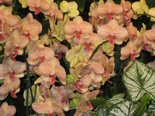 Orchids at the Fair 01