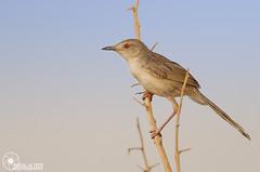 (Faisal Alzeer) Tags: bird birds nikon faisal ksa         nikkor300mm   fnz  d300s  alzeer