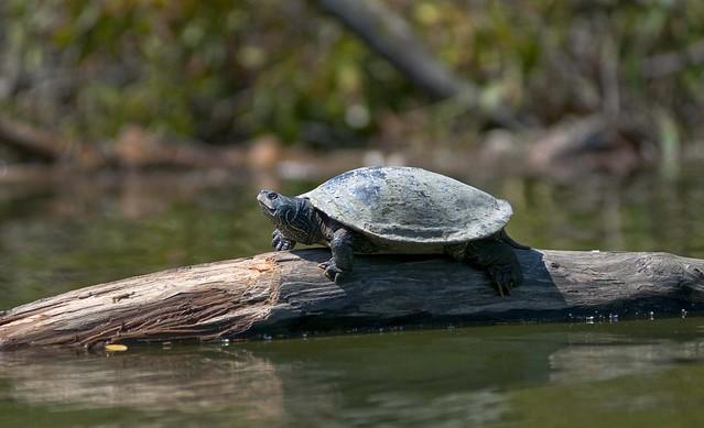 ele turtle