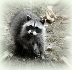 baby coon (calamityjan2008 ....somany galleries!) Tags: cute animal coon raccoon cuteanimal cuteshot babyraccoon anawesomeshot cutebabyanimal goldwildlife aug2010 raccoonzoom