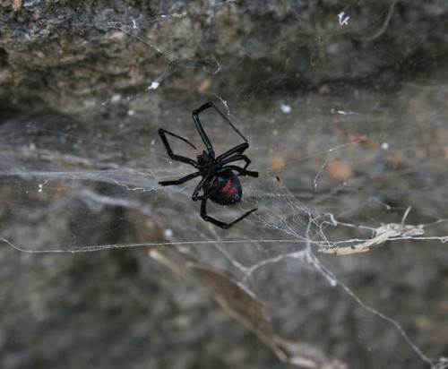 BlackWidow3August2011