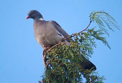 lone pigeon (horsesqueezing) Tags: pigeon lonepigeon soundtrackmonday