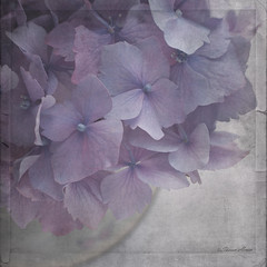 The Color Purple (sherone72) Tags: uk england stilllife flower texture film garden movie square lumix petals soft cluster lavender panasonic textures lilac bloom mauve g1 hydrangea epic tabletop textured pompom ttt purpleshades texturesquare stilllifephotoart