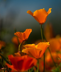 California Poppies 5 (Irena Portfolio) Tags: flowers nature poppies fa californiapoppy colorphotoaward persephonesgarden