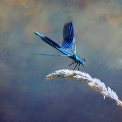 ✿ Dragonfly ✿ (✿ nicolas_gent ✿) Tags: niceshot dda motat tatot bestcapturesaoi magicunicornverybest magicunicornmasterpiece mygearandme mygearandmepremium mygearandmebronze mygearandmesilver mygearandmegold mygearandmeplatinum mygearandmediamond ringexcellence dblringexcellence tplringexcellence