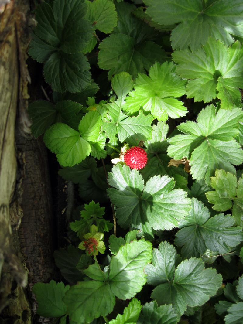 Morangos silvestres // Wild Strawberries