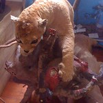"Cheetah Eating a Monkey in Basilica Museum <a style=""margin-left:10px; font-size:0.8em;"" href=""http://www.flickr.com/photos/14315427@N00/6053098570/"" target=""_blank"">@flickr</a>"