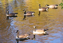 The Meeting... (bigbrowneyez) Tags: blue brown white black green nature wet water beautiful sunshine swimming reflections river gold ducks meeting fresh ripples resting canadageese shimmer linedup inarow goldenripples theng straightline
