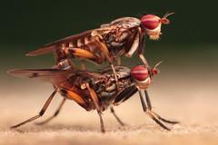 Stacked flies (johnhallmen) Tags: macro insect nrm diptera sciomyzidae canonmpe65 canon5dmkii canon270ex zerenestacker