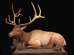"Bedded Bull Elk Taxidermy • <a style=""font-size:0.8em;"" href=""http://www.flickr.com/photos/27376150@N03/6060397186/"" target=""_blank"">View on Flickr</a>"
