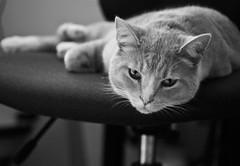 Homer (Barbara.K) Tags: portrait blackandwhite pet animal cat dof monochromatic homer canon500d primelens differentialfocus eos500d canonefs60mm128 canonrebelt1i