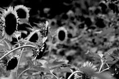 sunflower (reinetor) Tags: street light bw white black flower face waiting crossing pedestrian sunflower 5d crosswalk signal f4 白黒 ef70200 ef70200f4