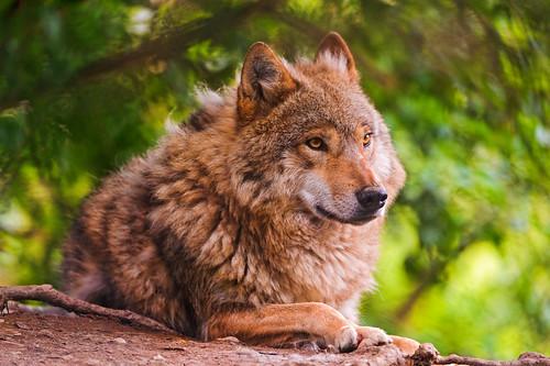 [フリー画像] 動物, 哺乳類, 狼・オオカミ, 201108221100
