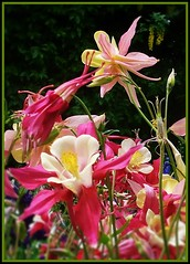 Columbine in the Iris gardens  June 6 2011 (rbdal (Back online)) Tags: pink flowers yellow oregon garden aquilegia bloom salem columbine keiser marioncounty displaygarden saveearth schreinersirisgardens