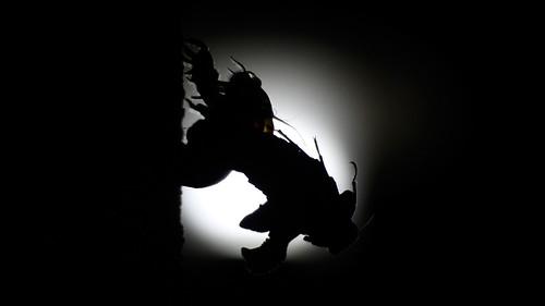 cicada-eclipse
