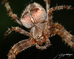 Incy Wincy spider (Symbolizm) Tags: chris macro up bug insect spider close joyce symbolizm