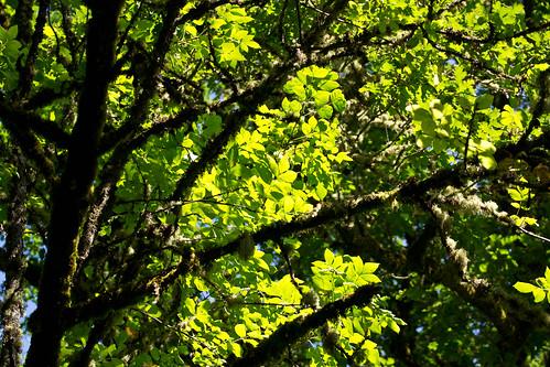 Oregon Ash