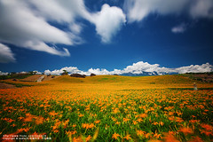 (nodie26) Tags: flower beautiful landscape lily taiwan    hualien     yellower