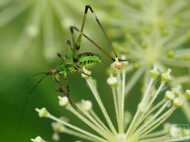 Phaneroptera nigroantennata