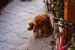 Bike and Dog (Ozman666) Tags: pink italy dog brown blur cute bike delete10 delete9 puppy delete5 lights delete2 blurry soft delete6 delete7 hound adorable delete8 delete3 delete delete4 explore shaggy leash lead delete11 deletedbydeletemeuncensored