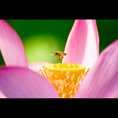 morning's work (Masahiro Makino) Tags: flower japan photoshop canon eos kyoto lotus sigma adobe   70300mm honeybee  lightroom    f456 60d gettyimagesjapanq3 20110817070126canoneos60dls640p