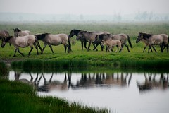 koniks horses 2 (Photos Ali) Tags: horse nature netherlands animal paard koniks oostvaarders