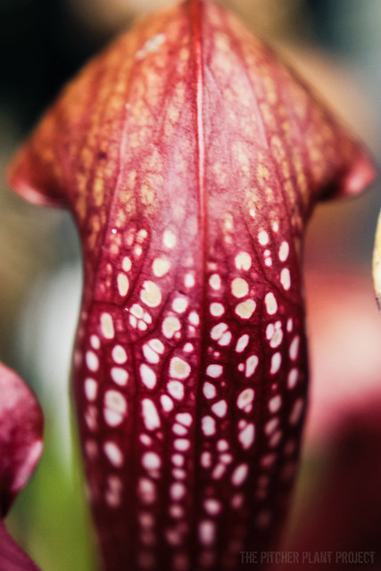Sarracenia psittacina x minor